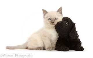 Black Cavapoo puppy, and Ragdoll cross kitten