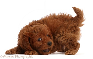 Playful Red Cavapoo puppy, 7 weeks old