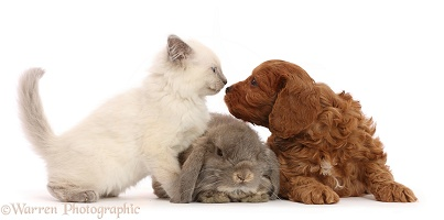 Red Cavapoo puppy, Ragdoll cross kitten and grey Lop rabbit