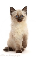 Ragdoll cross kitten, 8 weeks old, sitting