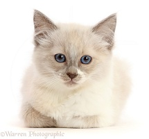 Ragdoll cross kitten, 8 weeks old