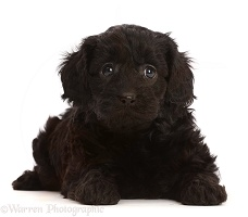 Black Cavapoo puppy, 7 weeks old