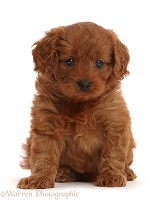 Red Cavapoo puppy, 7 weeks old