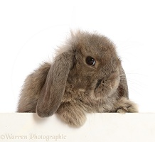 Grey Lop rabbit, 12 weeks old, paws over