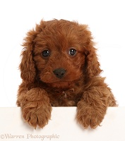 Red Cavapoo puppy, 7 weeks old, paws over