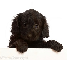 Black Cavapoo puppy, 7 weeks old, paws over