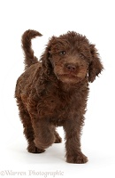 Chocolate Labradoodle puppy walking