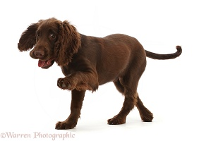 Chocolate working Cocker Spaniel puppy, pointing with paw
