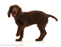 Chocolate working Cocker Spaniel puppy, standing