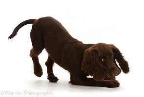 Chocolate working Cocker Spaniel puppy, play-bow