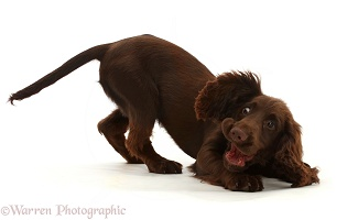 Chocolate working Cocker Spaniel puppy, play-bow funny face