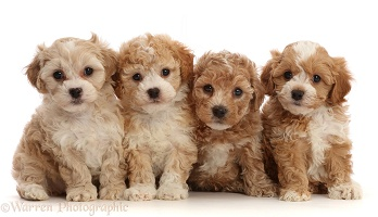 Four Cavapoochon puppies, 6 weeks old