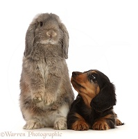 Dachshund puppy, Looking up at grey Lop bunny