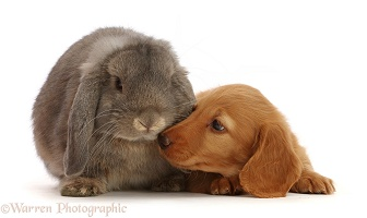 Cream Dachshund puppy, 7 weeks old, and grey Lop bunny