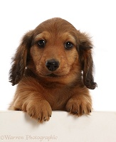 Cream shaded Dachshund puppy, 7 weeks old, paws over