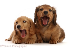 Dachshund puppies, 7 weeks old, yawning