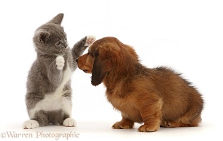 Dachshund puppy, with Ragdoll-cross kitten