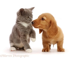 Dachshund puppy, nose to nose with Ragdoll-cross kitten