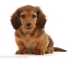 Cream shaded Dachshund puppy, 7 weeks old, sitting