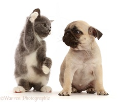Blue-and-white kitten waving at fawn Pug puppy