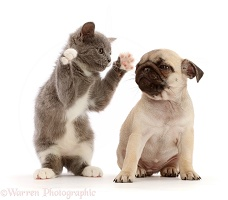 Blue-and-white kitten dabbing at fawn Pug puppy