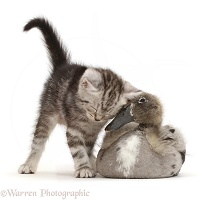 Silver tabby kitten cheek to beak with Indian Runner duckling