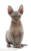 Grey Sphynx kitten, 11 weeks old
