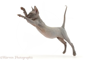Grey Sphynx kitten, 11 weeks old, jumping