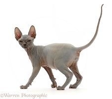 Grey Sphynx kitten, 11 weeks old, walking