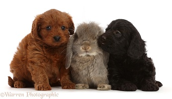 Black and red Cavapoo puppies, and grey Lop rabbit
