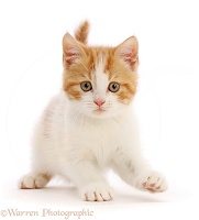 Ginger-and-white kitten