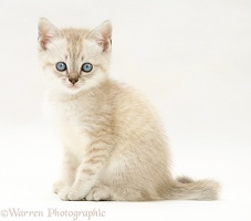 Birman-cross kitten, sitting