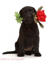 Black Labrador Retriever puppy, 6 weeks old, holding a rose
