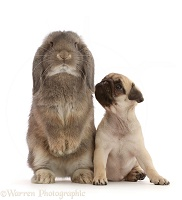 Fawn Pug puppy, 8 weeks old, and grey Lop bunny standing
