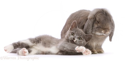 Blue-and-white Ragdoll-cross kitten, and grey Lop bunny