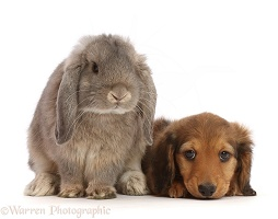 Dachshund puppy, with Lop bunny