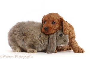 Grey Lop rabbit and Red Cavapoo puppy