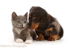 Blue-and-white Ragdoll-cross kitten, and Dachshund puppy