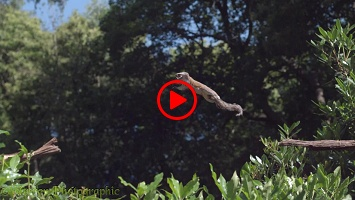 Slow motion Grey Squirrel leaping