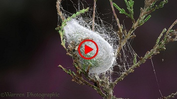 Emperor Moth caterpillar spinning its cocoon time lapse
