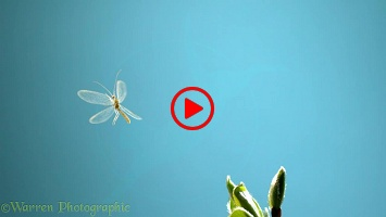 Green Lacewing (Chrysoperla carnea) taking off