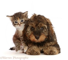 Tortie Tabby kitten, and matching Cavapoo puppy
