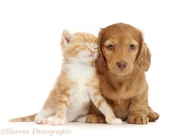Ginger kitten, snuggling Cream Dachshund puppy