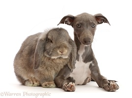 Grey Lop bunny with Blue Italian Greyhound puppy