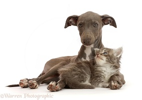 Blue Italian Greyhound puppy and tabby kitten