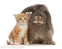 Grey Lop bunny with ginger kitten