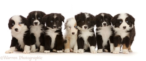 Seven Mini American Shepherd puppies