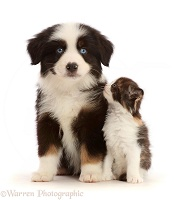 Tricolour Mini American Shepherd puppy and calico kitten