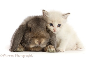 Colourpoint kitten and lounging Grey Lop bunny