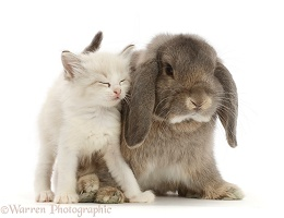 Colourpoint kitten snuggling grey Lop bunny